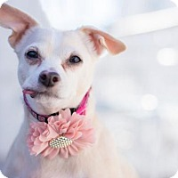 Adopt A Pet :: Sara Rose ~ Precious Flower - Caldwell, NJ