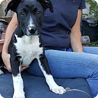 Adopt A Pet :: Dotty West - Richmond, CA