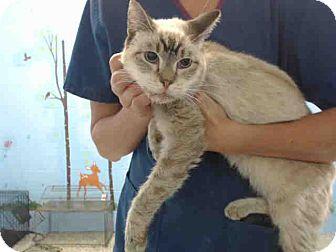 Siamese Cat for adoption in San Bernardino, California - URGENT on 9/10 San Bernardino