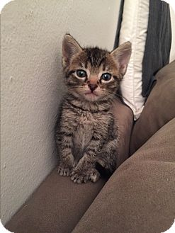 Domestic Shorthair Kitten for adoption in Miami, Florida - Juliette