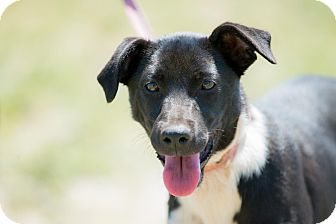 Rat Terrier/Italian Greyhound Mix Puppy for adoption in La Jolla, California - Minnie