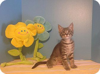 Domestic Shorthair Cat for adoption in Roanoke, Texas - Monique