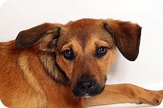 Sheltie, Shetland Sheepdog/Australian Cattle Dog Mix Dog for adoption in St. Louis, Missouri - Addison SheltieHeeler