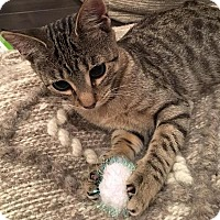 Domestic Shorthair Cat for adoption in Tampa, Florida - Stripes