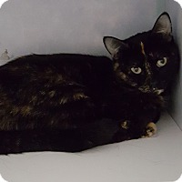 Domestic Shorthair Cat for adoption in Cody, Wyoming - Autumm