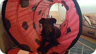 Labrador Retriever Mix Puppy for adoption in Lacey, Washington - Prince