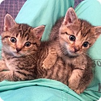 Domestic Shorthair Kitten for adoption in Bloomsburg, Pennsylvania - Bloomer and Ferra