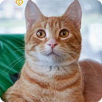 Domestic Shorthair Cat for adoption in St Paul, Minnesota - Oliver