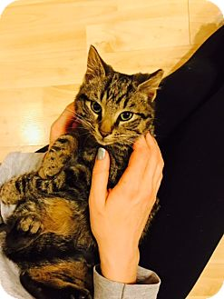 Domestic Shorthair Kitten for adoption in Baltimore, Maryland - .Connor
