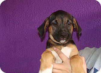 Australian Shepherd/Labrador Retriever Mix Puppy for adoption in Oviedo, Florida - Wasabe