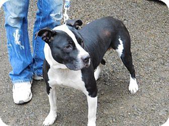 American Pit Bull Terrier Dog for adoption in Millerstown, Pennsylvania - INNOKO