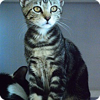 Domestic Shorthair Kitten for adoption in West Palm Beach, Florida - Gigi