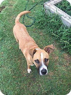 Boxer/Shepherd (Unknown Type) Mix Dog for adoption in Newcastle, Oklahoma - Tom Petty