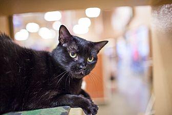 Domestic Shorthair Cat for adoption in Statesville, North Carolina - Dahlia