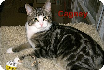 Domestic Shorthair Cat for adoption in Medway, Massachusetts - Cagney