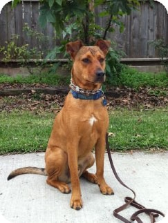 Shepherd (Unknown Type) Mix Dog for adoption in Houston, Texas - Sheffield
