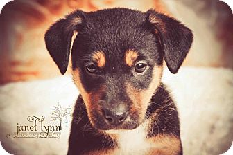German Shepherd Dog/Australian Cattle Dog Mix Puppy for adoption in Chattanooga, Tennessee - Lilly