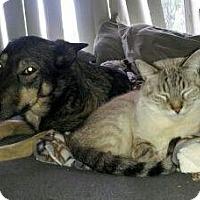 Adopt A Pet :: Shiba - San Jose, CA