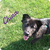 Chow Chow Dog for adoption in Bolingbrook, Illinois - CHINA