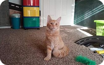 Domestic Shorthair Cat for adoption in San Tan Valley, Arizona - Tang