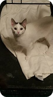 Domestic Shorthair Kitten for adoption in Rockford, Illinois - Snowie