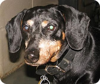 Dachshund Mix Dog for adoption in Oxford, Mississippi - Tucker - Foster Care