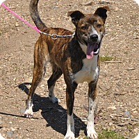 Mountain Cur/Collie Mix Dog for adoption in Leslie, Arkansas - Marcus