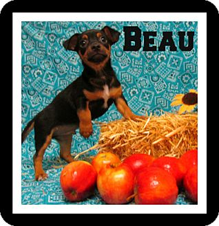 Dachshund/Chihuahua Mix Puppy for adoption in Tracy, California - BEAU