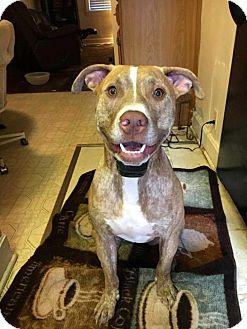 Labrador Retriever/Pit Bull Terrier Mix Dog for adoption in Washington, D.C. - SONNY