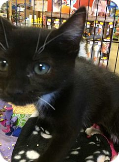 Domestic Shorthair Kitten for adoption in Concord, California - Ayla