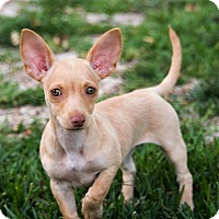 Adopt A Pet :: Sophie - La Habra Heights, CA