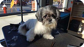 Shih Tzu Mix Dog for adoption in Bellingham, Washington - Waldo
