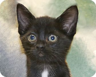 Domestic Shorthair Kitten for adoption in Rochester, New York - Lanie