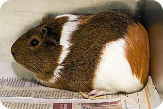 Guinea Pig for adoption in New Orleans, Louisiana - Carmella