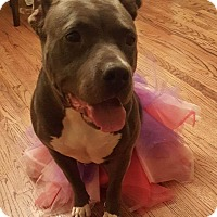 American Pit Bull Terrier Mix Dog for adoption in Portland, Oregon - Nani