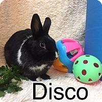 Dutch Mix for adoption in Paramount, California - Disco
