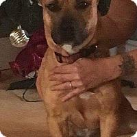 Adopt A Pet :: Scrappy - Auburn, MA
