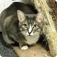 Domestic Shorthair Kitten for adoption in Centreville, Virginia - Baby