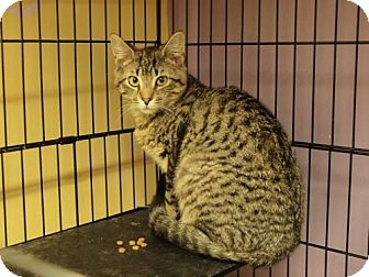 Bengal Cat for adoption in Ocean City, New Jersey - Abel