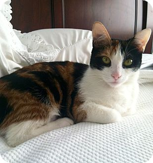 Calico Cat for adoption in Irvine, California - Madison