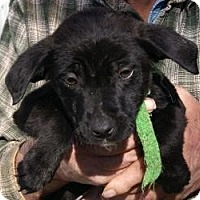 Labrador Retriever Mix Puppy for adoption in Oakland, Arkansas - Barrie Jane