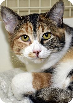 Domestic Shorthair Cat for adoption in Santa Fe, New Mexico - Candice