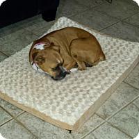 Adopt A Pet :: Ali - Las Vegas, NV