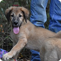 Adopt A Pet :: Brilley - Charlemont, MA