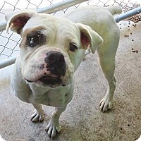 Adopt A Pet :: Wiggles - Brentwood, TN