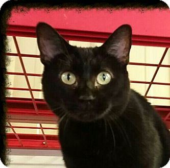 Domestic Shorthair Cat for adoption in Lexington, Kentucky - Reagan