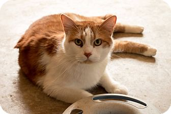 Domestic Shorthair Cat for adoption in Daleville, Alabama - Sultan