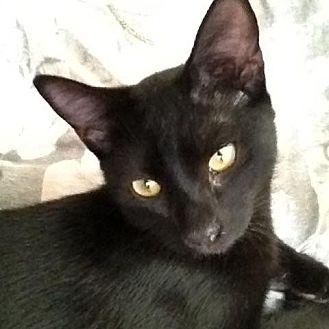 Domestic Shorthair Cat for adoption in Royal Palm Beach, Florida - Baloo