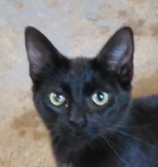 Domestic Shorthair Cat for adoption in Sistersville, West Virginia - Illyana