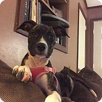 Pit Bull Terrier Mix Puppy for adoption in Durham, North Carolina - Lulu